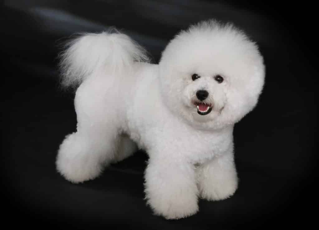 bichon toy dog