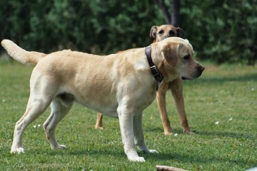 Labrador breed mixes