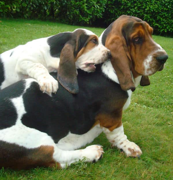 basset hounds low energy
