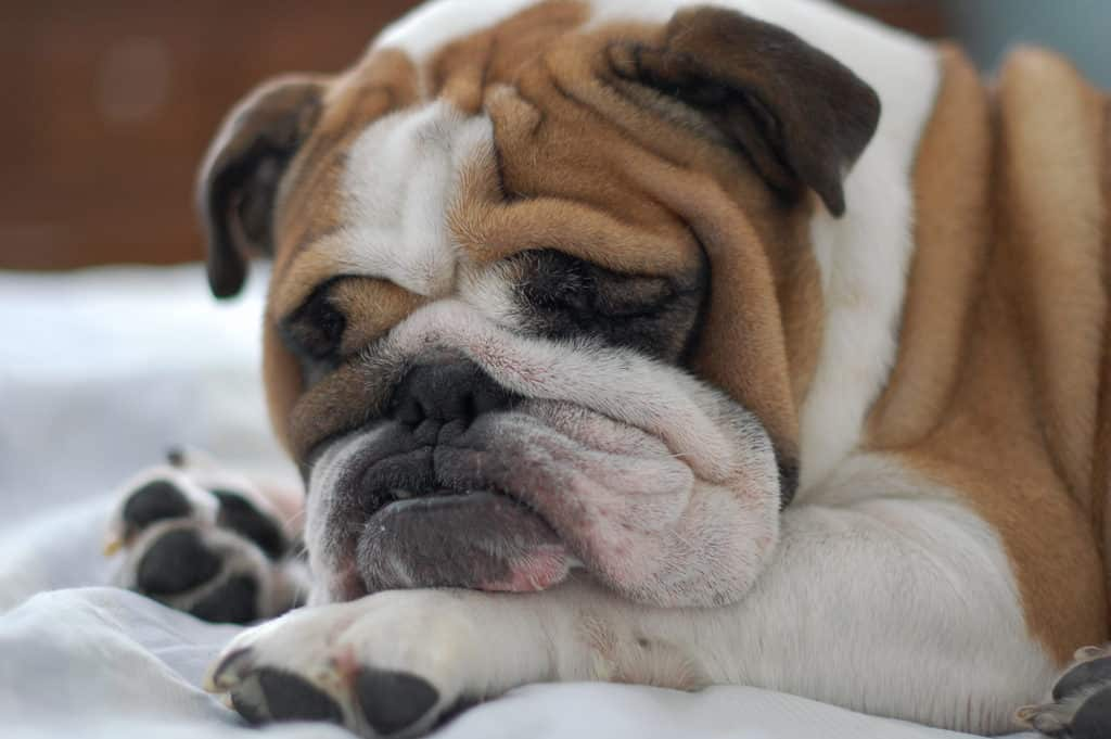 low energy bulldog