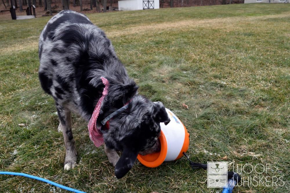 dog inspecting ball thrower