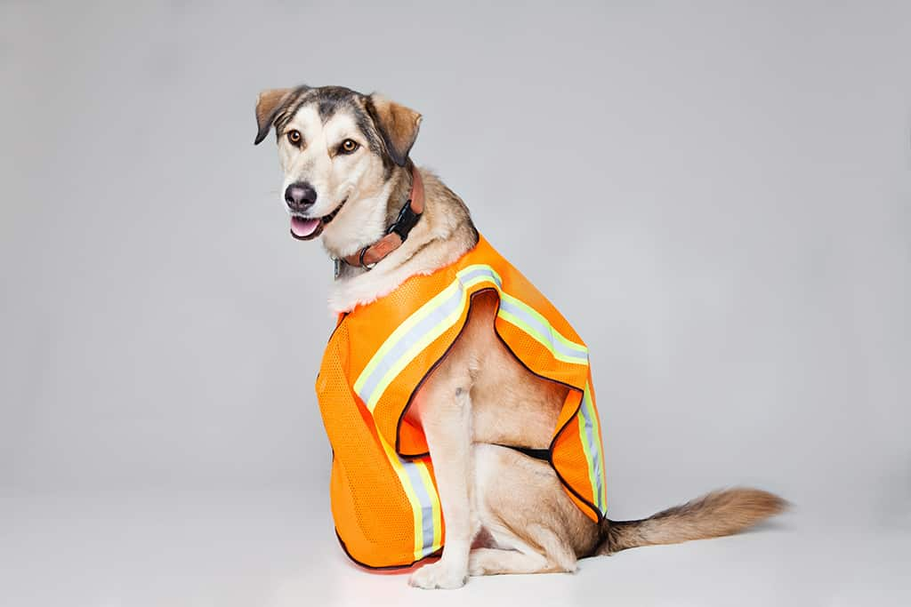 dog safety gear