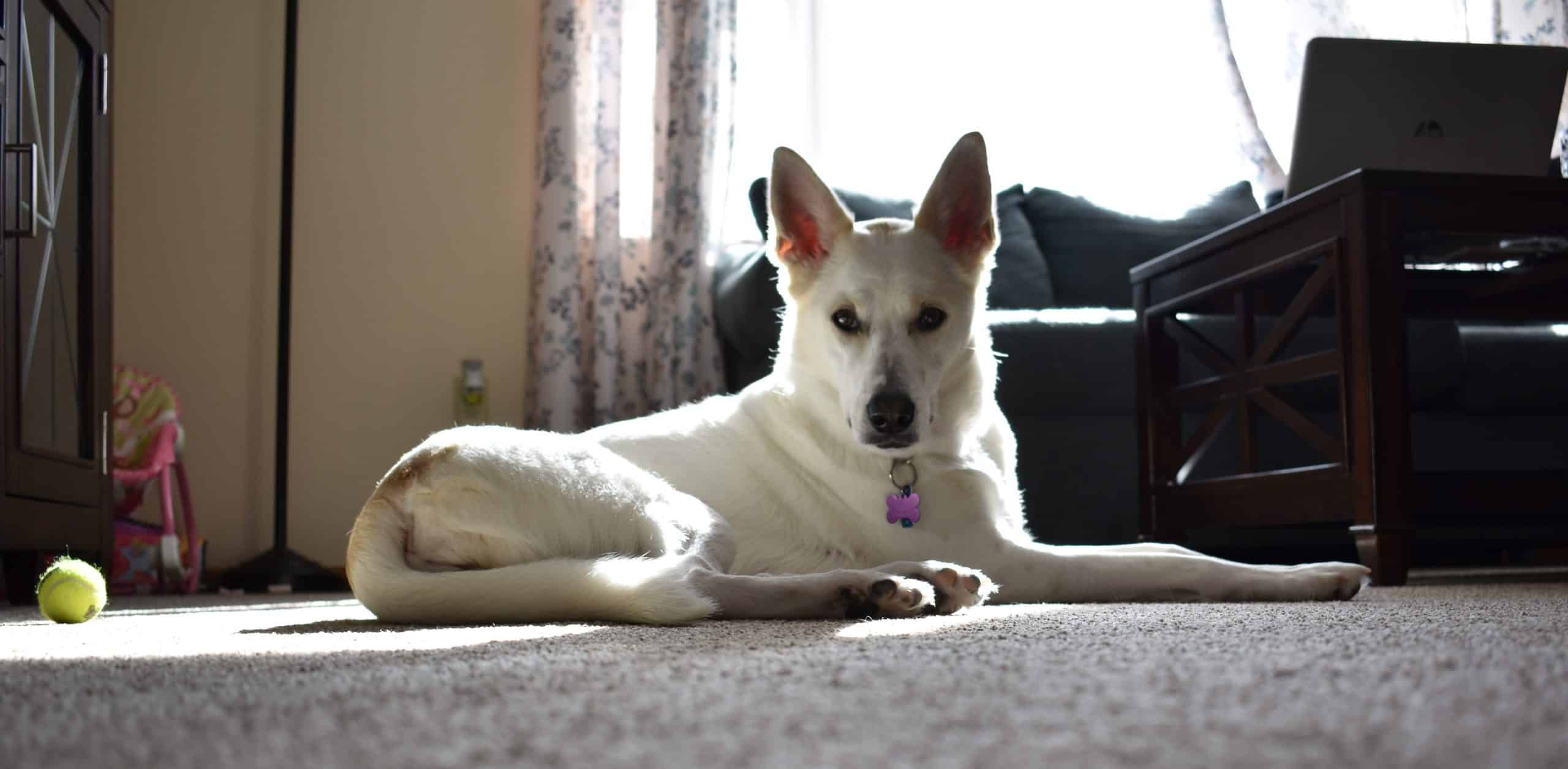 sasha dog woof whiskers