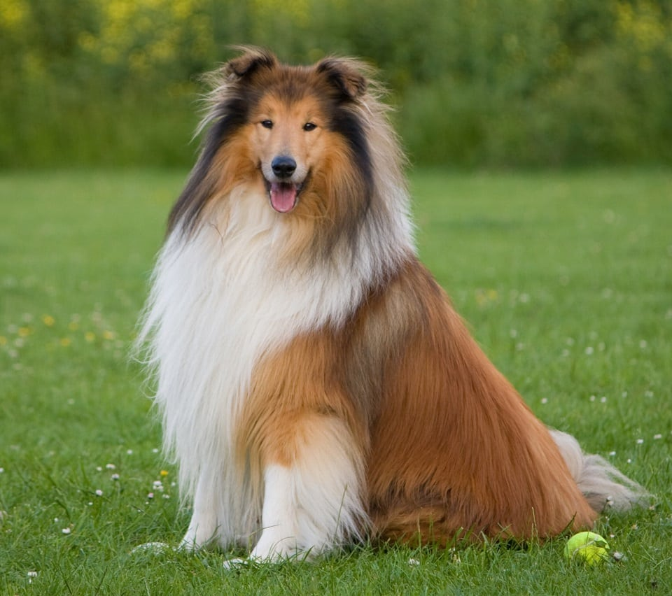 collie dog