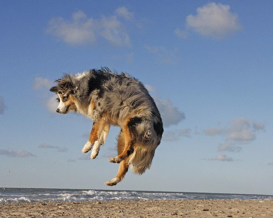 jumping australian shepard