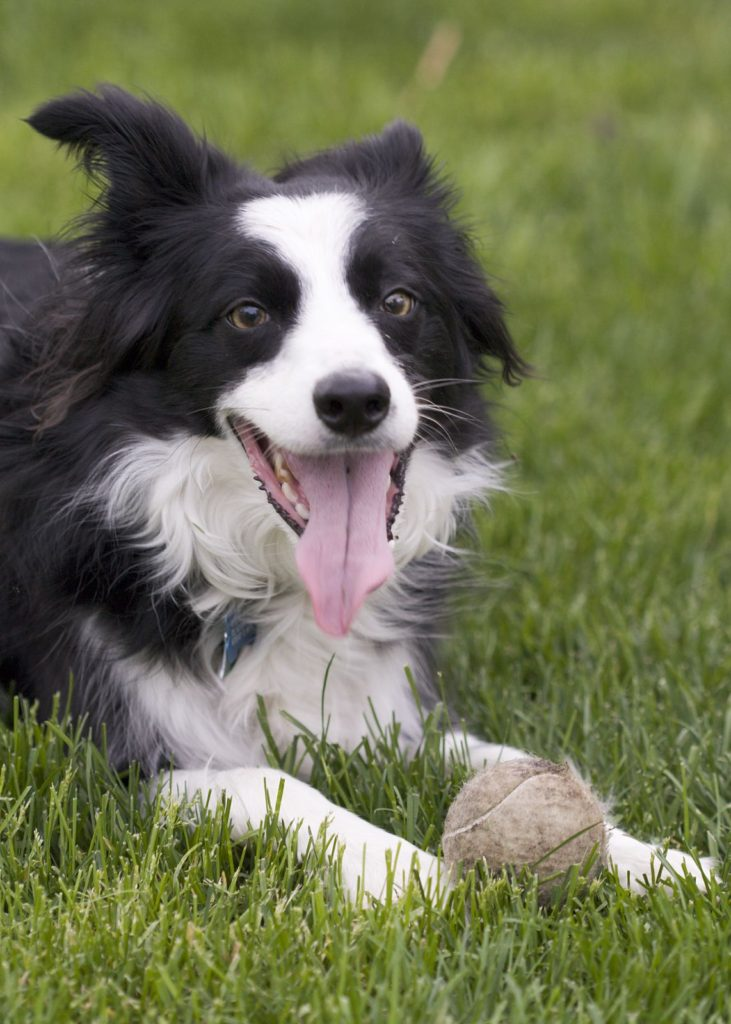 border-collie-fetch