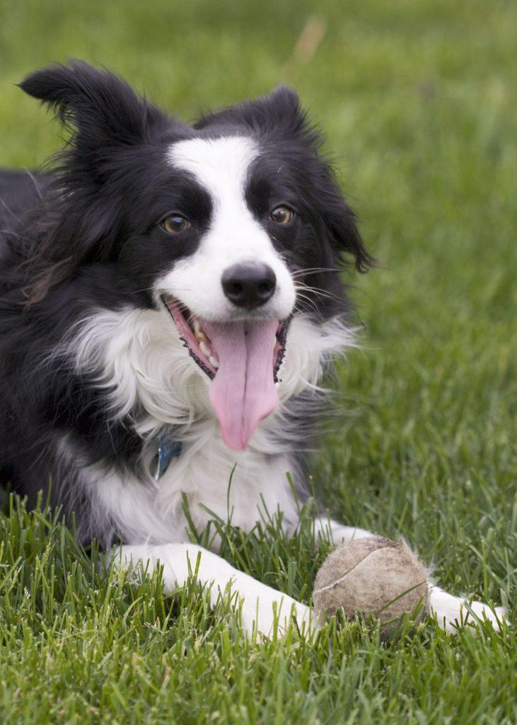 border-collie-fetch