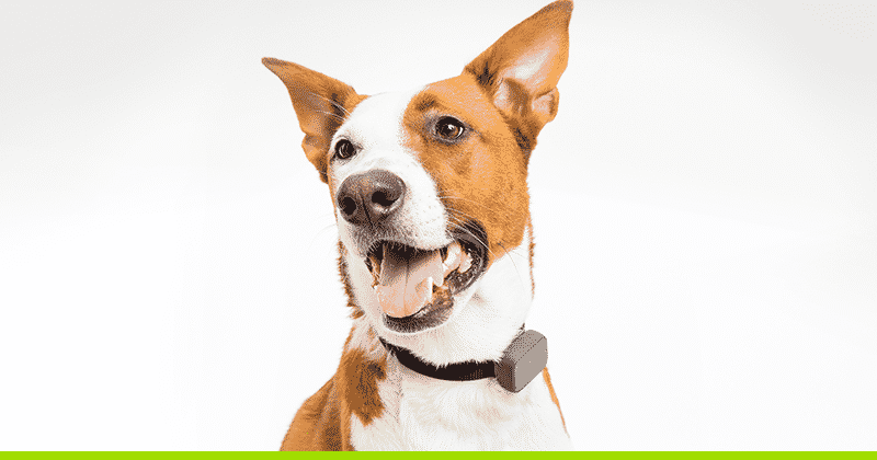 dog with tracking collar