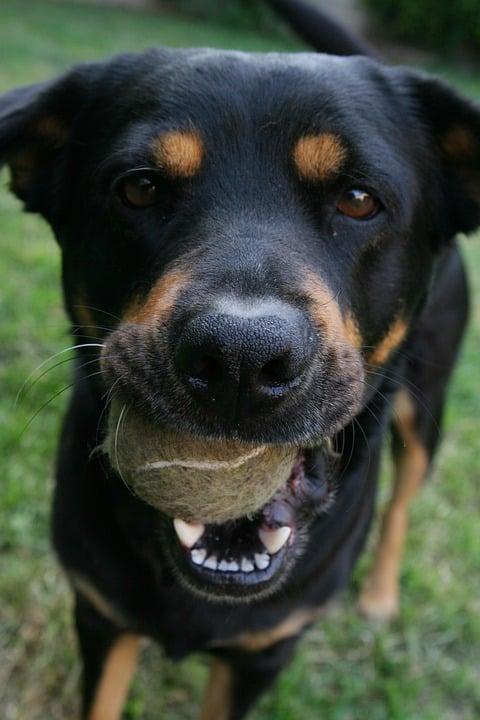 dog ball chase