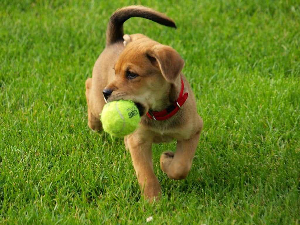 puppy fetch