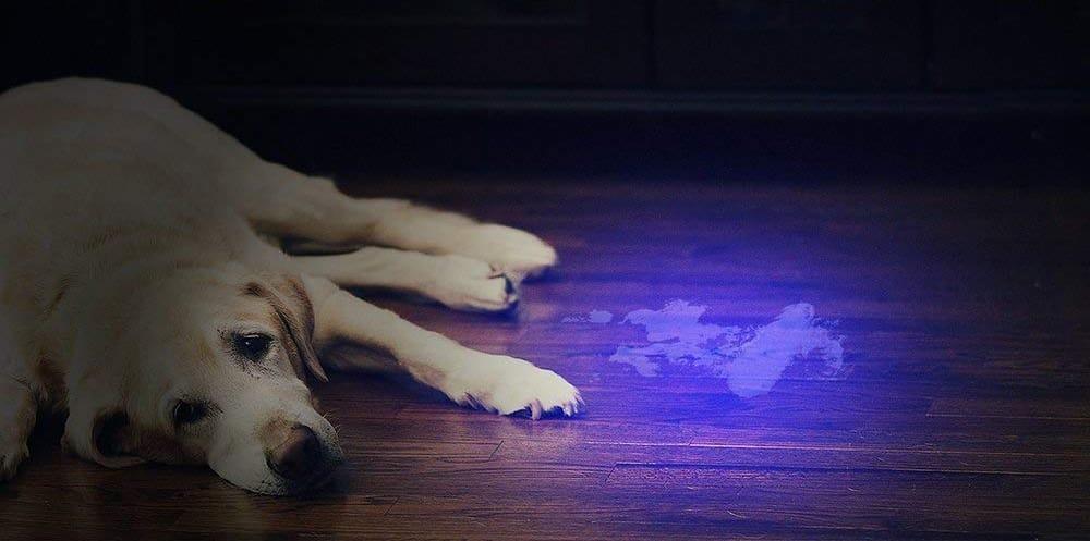 Recherche d'urine de chien avec une lumière UV