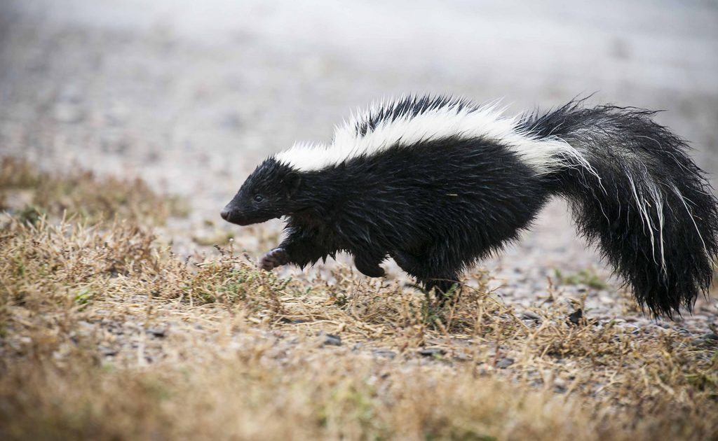 How to Remove Skunk Odor from Your Dog – Woof Whiskers