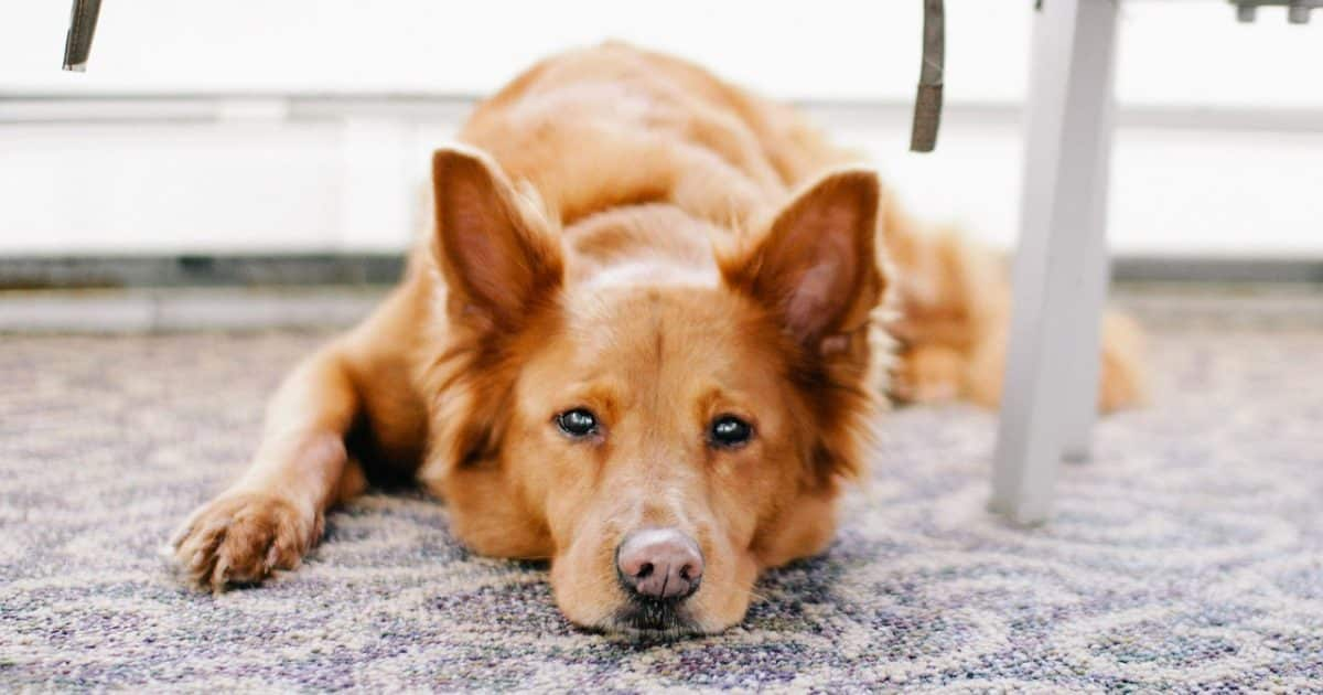 Best Rugs For Dog Owners Must Read Before Buying Woof Whiskers