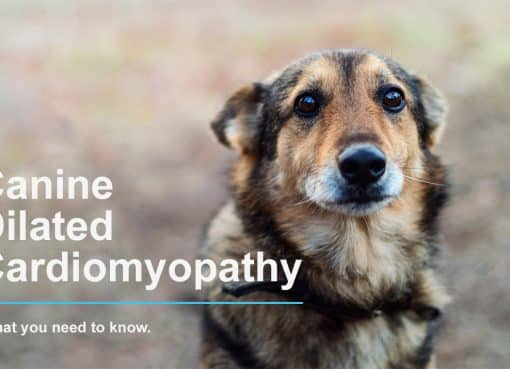 What you need to know about DCM in dogs