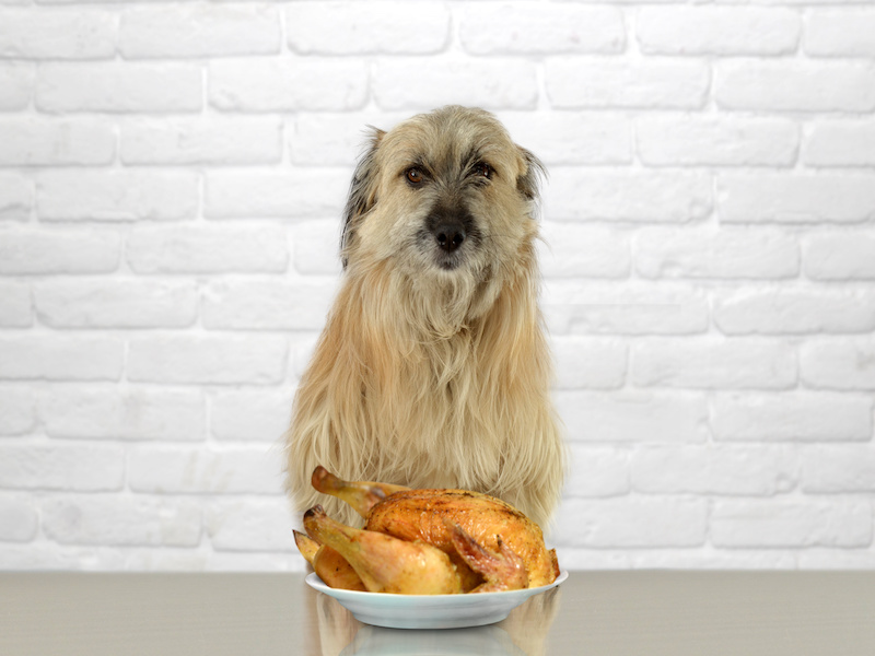 Can Doggies Eat Fried Chicken?